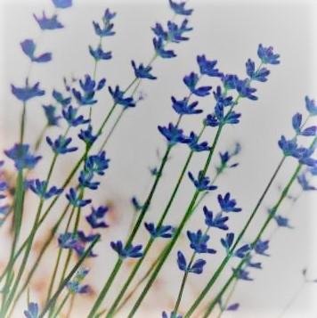 lavender-4-.jpg